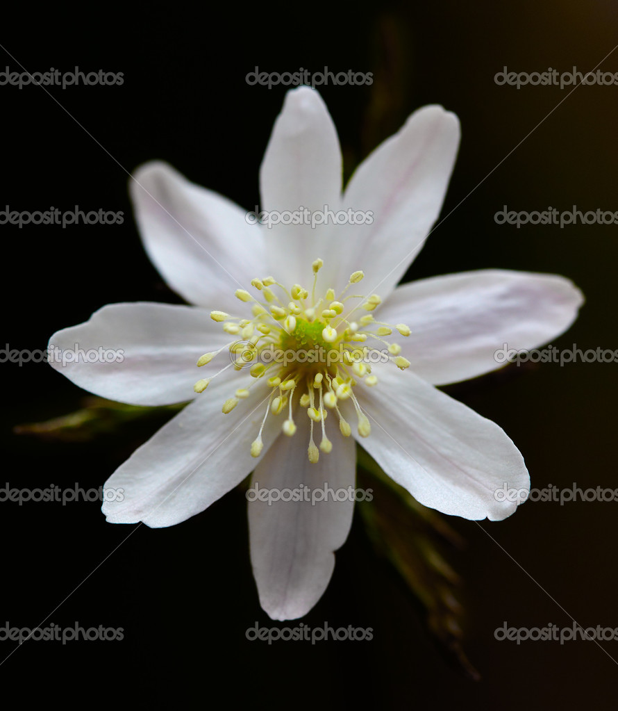 Spring flower Anemone altaica in the forest — Stock Photo #5544803