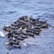 Grey Seal rookery — Stock Photo