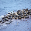 grijs seal the rookery — Stockfoto