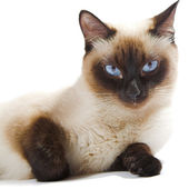 Siamese cat — Stock Photo
