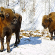 Winter bison — Stock Photo