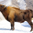 Winter bison — 图库照片