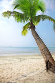 Coconut palm — Stockfoto