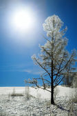 Winter larch — Foto de Stock