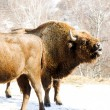 Royalty-Free Stock Photo: Winter bison