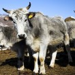 Grey cows - Stock Photo