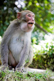 Aggressive monkey — Stock Photo