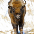 Wild bison — Stock Photo