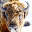 Wild bison — Stock Photo #5631705