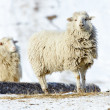 Sheeps — Stock Photo #5631785