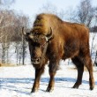 Wild bison — Stock Photo #5631791