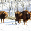 Wild bisons - Stock Photo