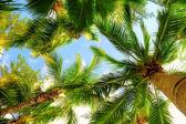 пальмовые деревья — Стоковое фото