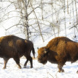 Two bisons - Foto Stock
