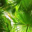 Date palm tree - Foto Stock