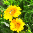 Yellow flowers - Photo
