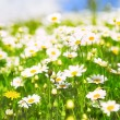 Daisy flowers - Foto Stock