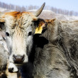 Grey cows - Foto Stock