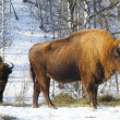 wild bisons — Stock Photo