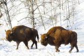 Two bisons — Stock Photo