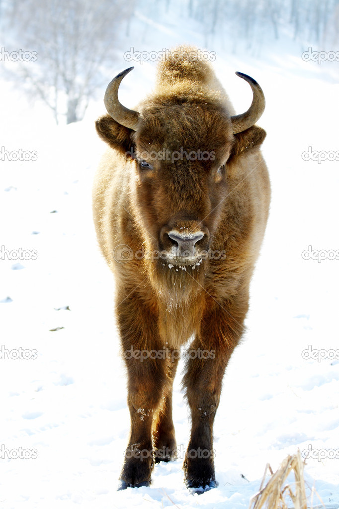 Close-up portrait of wild bison in winter — Stock Photo #5675342
