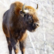 Wild bison — Stock Photo #5733137