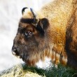 Wild bison — Stock Photo #5733138