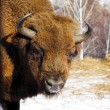Wild bison — Stock Photo #5733198