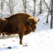 Wild bison — Stock Photo #5955200
