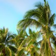 Coconut palm — Stock Photo #5955457