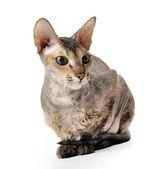 Haarloze oosterse kat — Stockfoto