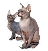 Hairless cat family — 图库照片