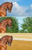 Dressage: head of bay stallion — Stockfoto