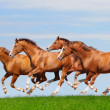 Four trakehner sorrel stallions gallop — Stock Photo