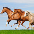 Three sorrel stallions gallop — Stock Photo