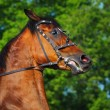Head of rebellious bay horse - Stockfoto