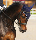 Dressage: portrait of bay horse — Foto de Stock