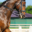 Dressage: portrait of bay horse — Stock Photo