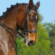 Dressage: portrait of bay horse — Stock Photo #6013671