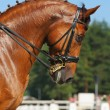 Stock Photo: Dressage: portrait of sorrel horse