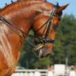 Dressage: portrait of sorrel horse — Stock Photo #6016315