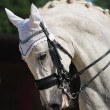 Dressage: portrait of gray horse — Stock Photo #6016323