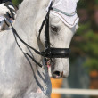 Stock Photo: Dressage: portrait of gray horse