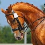 Dressage: portrait of sorrel horse — Stock Photo #6016330