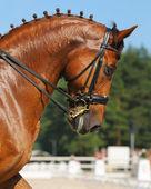 Dressage: portrait of sorrel horse — Stock Photo