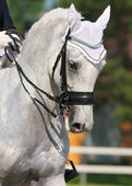 Dressage: portrait of gray horse — Stock Photo