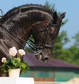 Dressage: portrait of black horse — Stock Photo