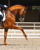 Dressage: portrait of sorrel horse — Stock Photo