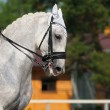 Dressage: portrait of gray horse — Stock Photo #6024238