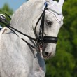 Dressage: portrait of gray horse — Stock Photo #6024245